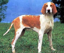 Great Anglo-French White and Orange Hound