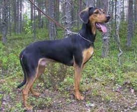 Griechischer Laufhund
