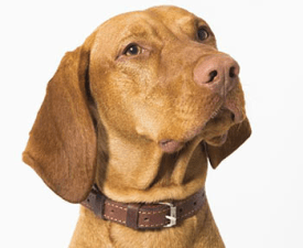Hungarian Short-haired Vizsla