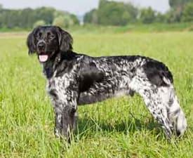 Grosser Münsterländer Vorstehhund