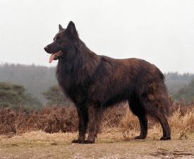 Long-haired Dutsch Shepherd Dog