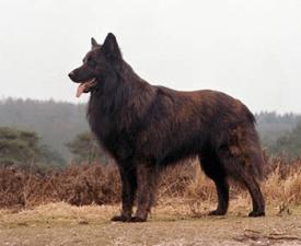 Длинношёрстная голландская овчарка
