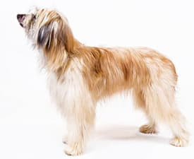 Langhaariger Pyrenäenschäferhund