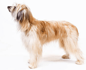 Long-haired Pyrenean Sheepdog