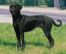 Majorca Shepherd Dog