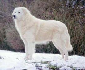 Maremmen-Abruzzen-Schäferhund