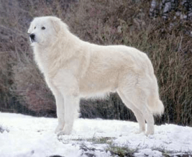 Maremma and Abruzzes Sheepdog