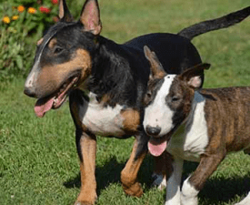 Miniature Bullterrier