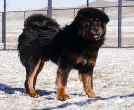 Mongolian Shepherd Dog Bankhar