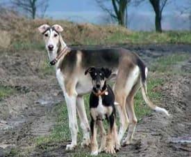 Polnischer Windhund