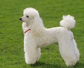 Poodle Miniature
