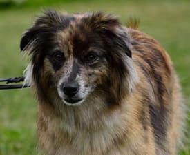 Pyrenäen-Schäferhund mit kurzhaarigem Gesicht