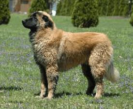 Serra da estrela Mountain Dog