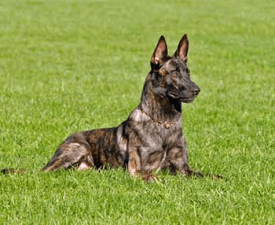 Short-haired Dutsch Shepherd Dog