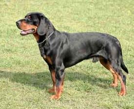 Slowakischer Laufhund