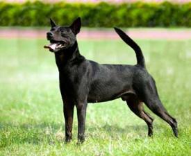 Taiwan Hund