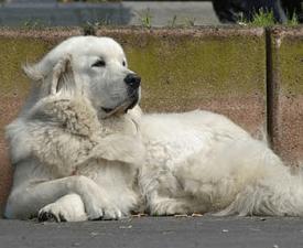 Tatra Shepherd Dog