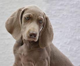 Weimaraner Vorstehhund