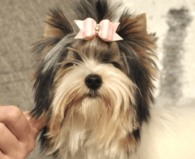Ivettke - Biewer Terrier Puppy for sale