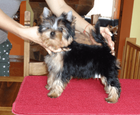 Ivan Of Little Bunny Fu Fu - Yorkshire Terrier Puppy for sale