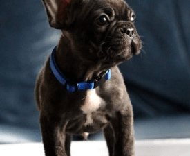 Emmet - French Bulldog Puppy for sale