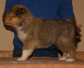 Xtra Nice - Collie Rough Puppy for sale