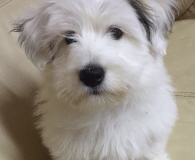 Ice - Coton de Tulear Puppy for sale