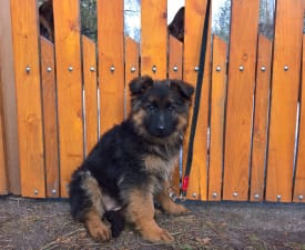 Lujza - German Shepherd Dog Puppy for sale