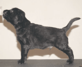 Badger - Flat Coated Retriever Puppy for sale