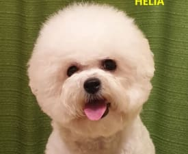 Helia - Bichon Frise Puppy for sale