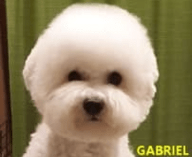 Gabriel - Bichon Frise Puppy for sale