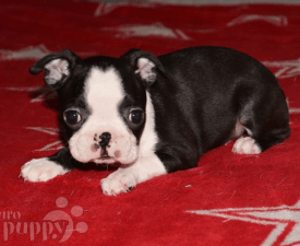 Big-bos-tons Dina - Boston Terrier Puppy for sale