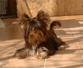 Choco Lady - Biewer Terrier Puppy for sale