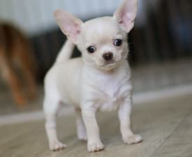 Me Gusta Poison Ivy  - Csivava eladó kiskutya