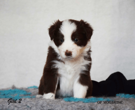 Naty - Border Collie Puppy for sale