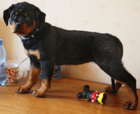 Khyllary - Rottweiler Puppy for sale