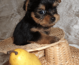 Yarkyi Meteor - Yorkshire Terrier Puppy for sale