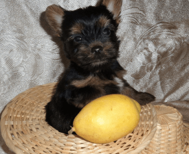 Yarofei - Yorkshire Terrier Puppy for sale