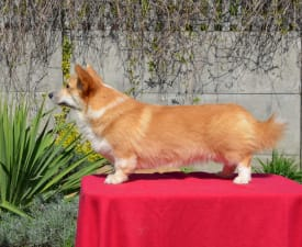 Coolbaby Sambatus - Welsh Corgi Pembroke Puppy for sale