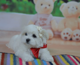 Ambassador Fler D`orang - Maltese Puppy for sale