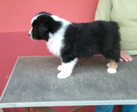Nelson By Baby Jane - Australian Shepherd Puppy for sale