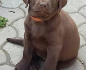 Ivonne - Labrador Retriever Puppy for sale