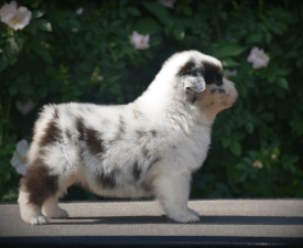 Hollywood News Agency  - Australian Shepherd Puppy for sale