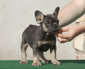 Gelson - Blue & Tan - French Bulldog Puppy for sale