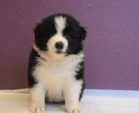 Piece Of Happiness Daryl - Border Collie Puppy for sale