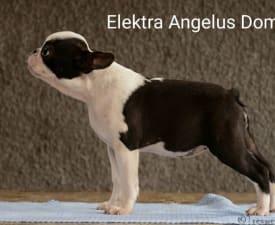 Elektra Angelus Domini - Boston Terrier eladó kiskutya