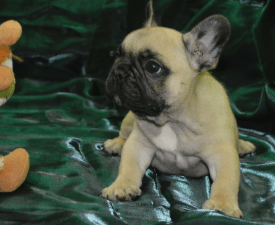 Harley - French Bulldog Puppy for sale