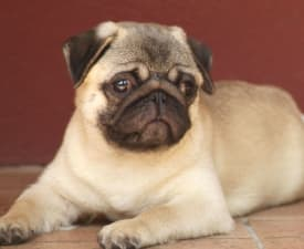 Ozzy Ossbourne Von Feketic - Pug Puppy for sale