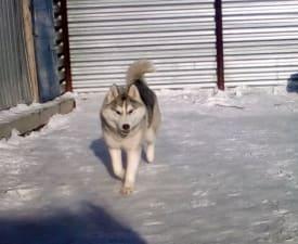 Bekshiler Antique Silver - Siberian Husky Puppy for sale