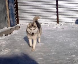 Bekshiler Antique Silver - Szibériai husky eladó kiskutya